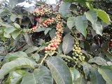 Koffiestruik Kenia