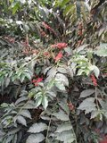 Koffiestruik Kenia rijpe koffiebessen