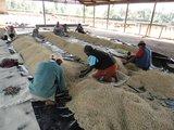 Sorteren Kenia koffiebonen